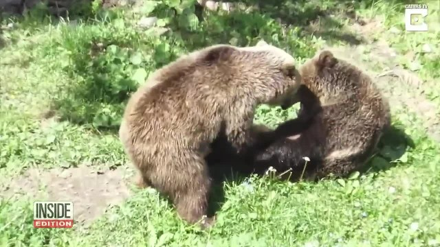 This Bear Has Lived Alone All His Life. Watch The Moment It Sees Another Bear For The First Time