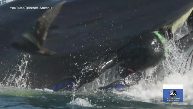 Diver accidentally ends up inside the mouth of a large whale