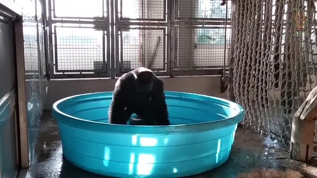 Spunky gorilla doesn't hold back when he steps in the swimming pool