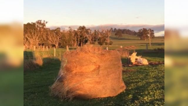 Farmer discovers the hay bale she just moved being destroyed by naughty baby animal