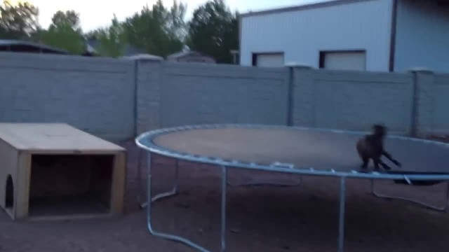 Mischievous Baby Goat Finds A Trampoline, And Begins To Have The Time Of His Life