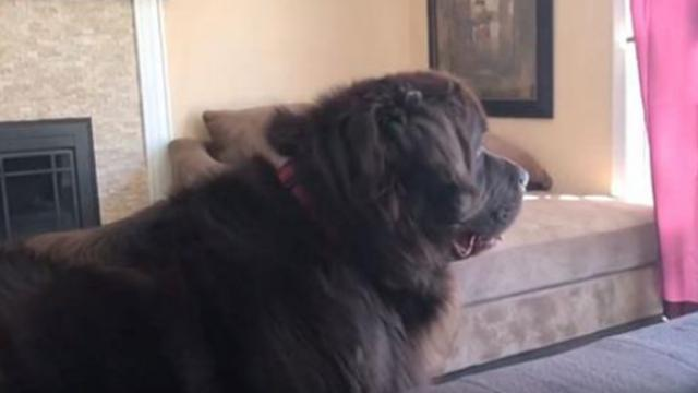 Giant dog plays 'hide and seek' with girl turning into adorable scene that has mom laughing