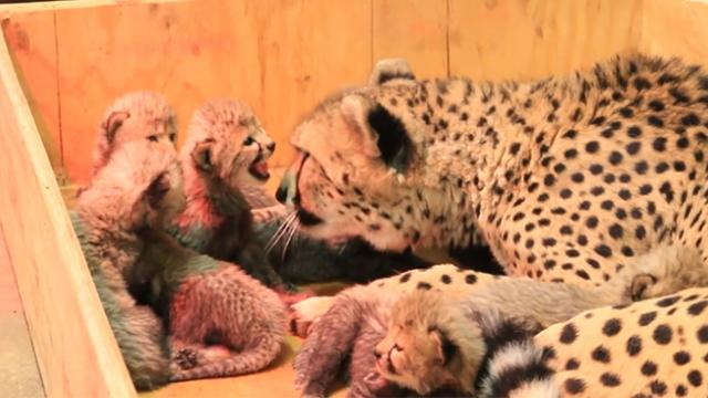 A cheetah at the Saint Louis Zoo just welcomed a large new litter of cubs