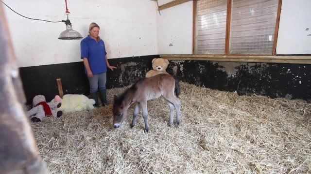 Abandoned pony dearly misses mom. Then rescuers give him a teddy bear to cuddle with