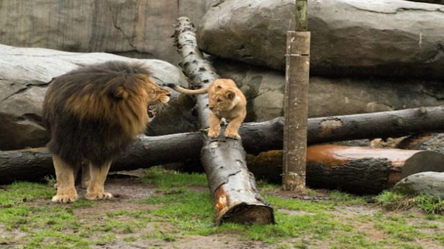 A lion meeting its cubs for the first time – heartwarming footage