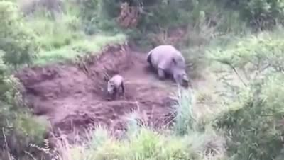 A Baby Rhino Was Found Clinging To His Mother After She Was Murdered For Her Horns