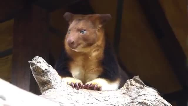 Video Captures Rare Baby Tree Kangaroo Peeking Head Out Of Pouch