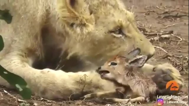 A lioness locks in on a prey but she doesn't eats it. The reason will shock you!