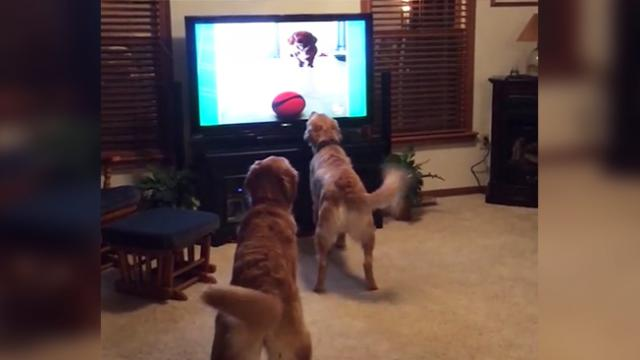 Dogs watching TV is nothing new but their funny reactions beats watching TV