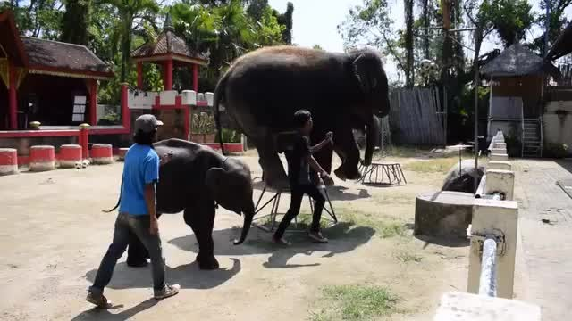 Elephant being forced to dance