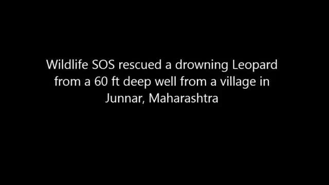 Indian villagers save drowning leopard in dramatic rescue