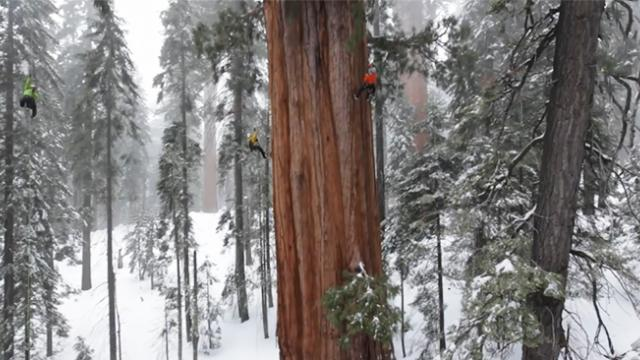 One of the planet's oldest trees is so big it has never been photographed in one image until now
