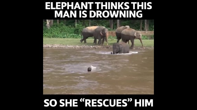 Concerned Baby Elephant Rescues A Man She Mistakenly Believed Was In Danger