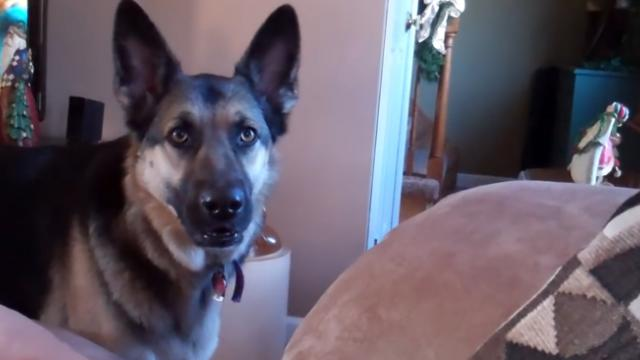 German shepherd complains when mom won't let her have leftover icing