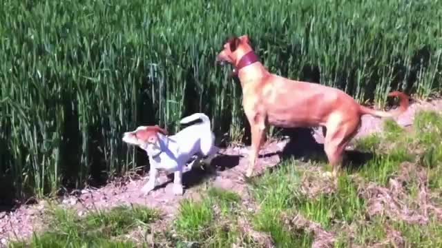 Dog hears farmer's whistle coming from the field with laugh-out-loud sence quickly unfolding