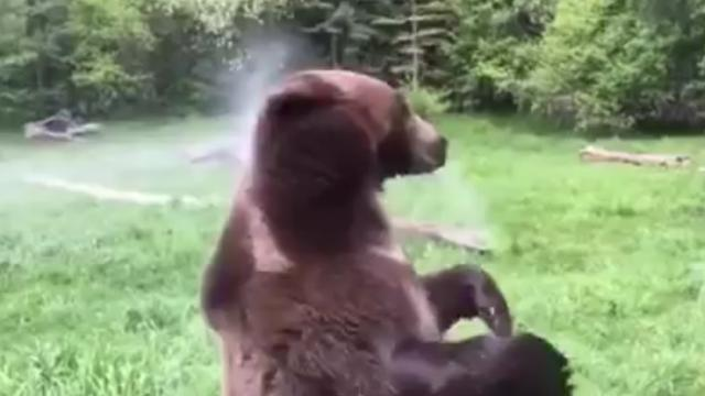 Take a moment to watch this bear in the sprinkler