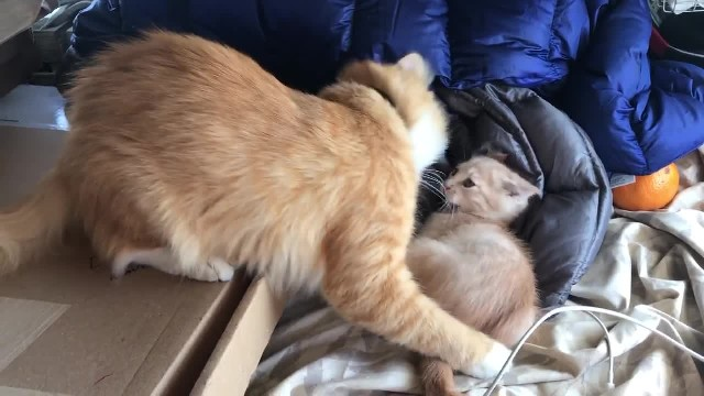 CAT DAD TEACHES KITTEN TO NOT BE SO AGGRESIVE AND GETS A KISS FROM THE MOTHER CAT AFTER HE DOES IN A