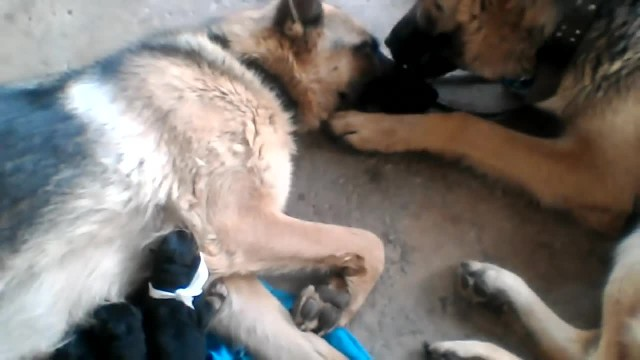 Exhausted mama dog gives birth to 12 puppies. Now watch what they catch the father doing…