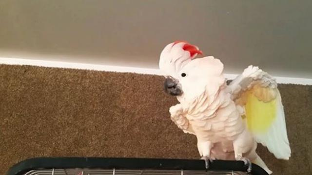 Bird freaks out about going in cage. Her rant will make you blush