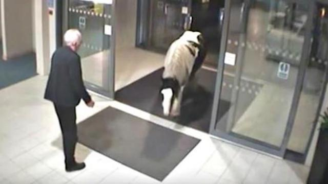 Police are surprised as a runaway horse strolls into police station