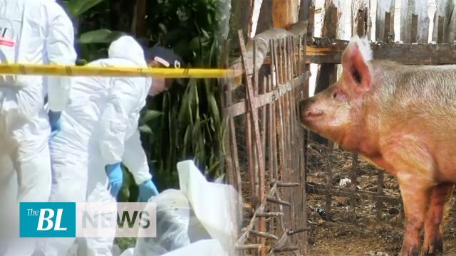 Colombian criminal gangs feed human remains to pigs