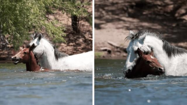 Wild stallion runs into water to save baby horse from drowning
