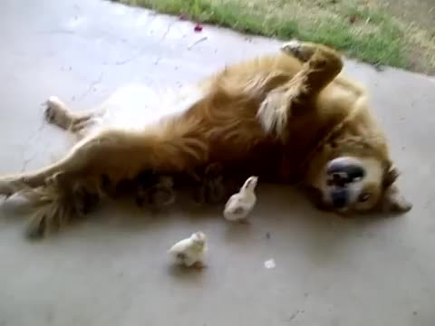 These adorable ducklings have a Golden Retriever as their dad! See how the gentle giant dotes on the