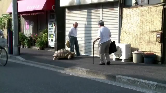 Crowds gather around this Japanese man taking a stroll with his giant pet tortoise through the stree