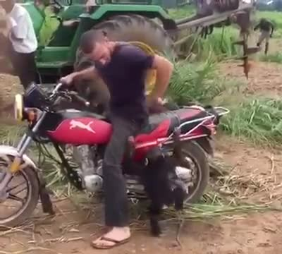 Baby Chimp Wants To Ride Motorcycle, Throws A Tantrum