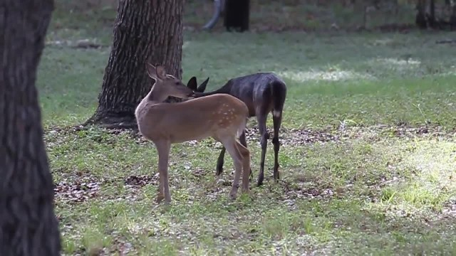 Man photographs rare 'pitch black' deer on property