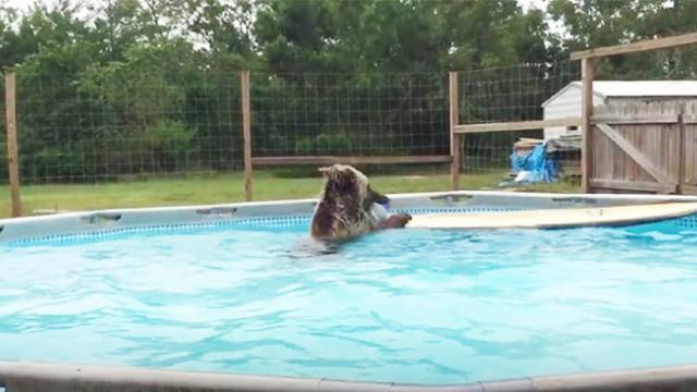 Adorable baby bear loves taking a dip in the swimming pool to