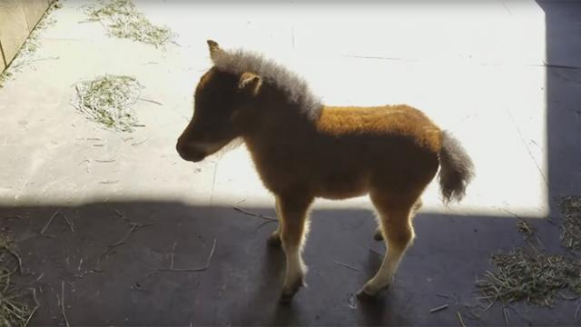 Baby miniature horse won't stop chasing this guy around – and