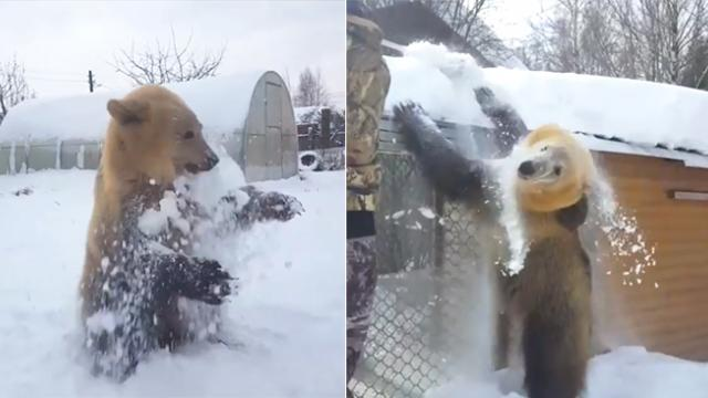 Who would've thought that bears enjoy playing with snow THAT much?