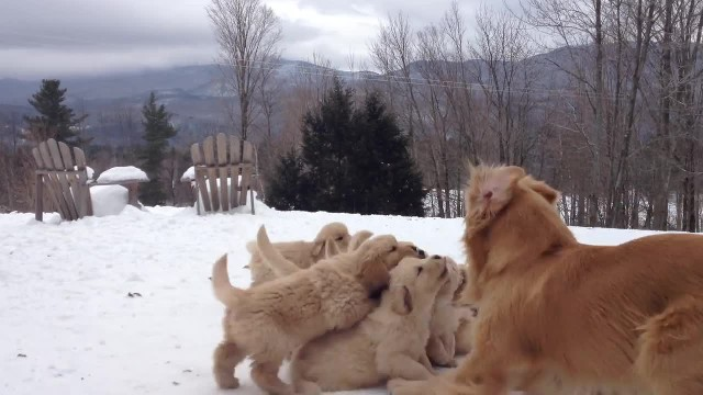 Golden retriever mommy playing with her puppies in the snow is too cute for words