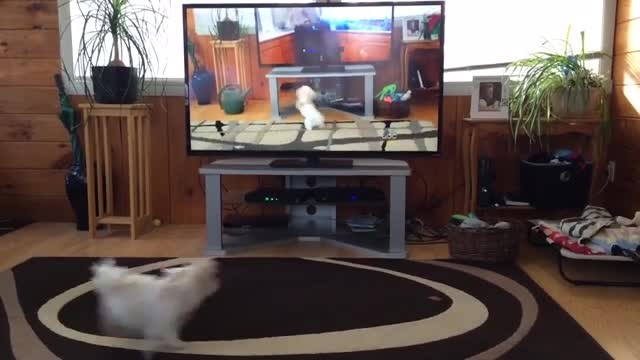 Dad catches his dog responding to commands on TV and it has everyone laughing