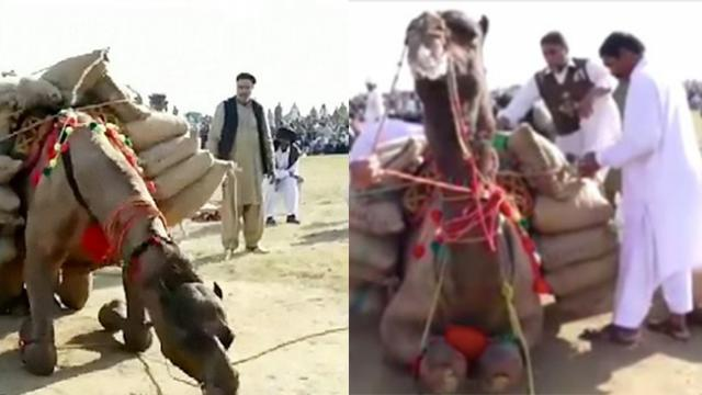 Video: Camels in Pakistan forced to move heavy loads of rocks in cruel weight-lifting competition