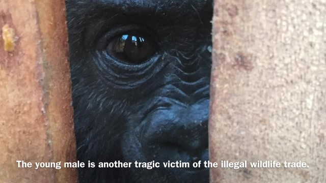 Baby gorilla loses mom to illegal wildlife trade, now depends on cuddles from his caretaker