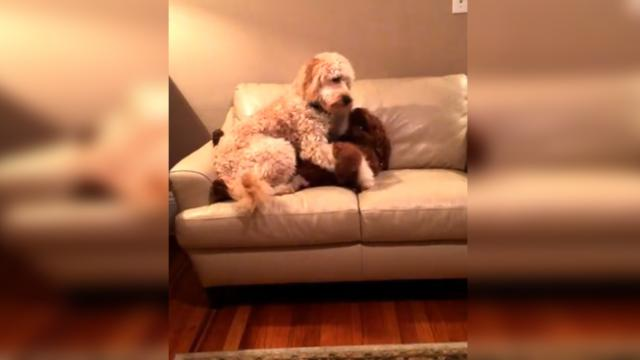 Sympathetic labradoodle dog comforts her canine pal who's in the midst of a bad dream