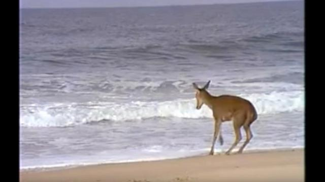 Watch this deers reaction when waves come toward him at the