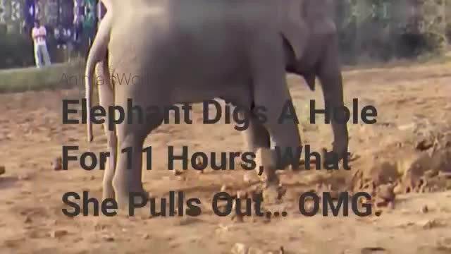 Elephant digs hole for 11 hours straight. Your jaw will drop when you see what she pulls out