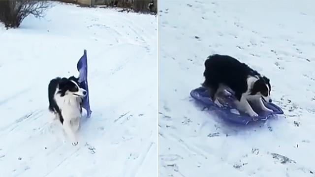 Clever pup goes sledding and absolutely nails it!