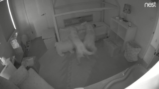 Mom is baffled when baby keeps disappearing from crib until 2 big dogs appear on security camera