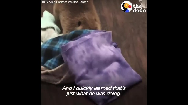 Rescue Beaver Loves Building Dams In His House - JUSTIN BEAVER