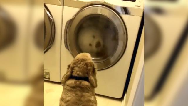Girl finds worried dog staring at dryer, cracks up when she looks inside.