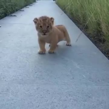 Tiny lion cub stumbles out; now try not to smile when you hear the sound it makes