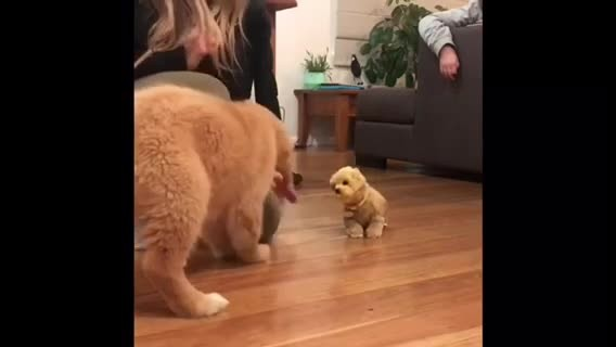 Golden Retriever Puppy Super Jealous Of Toy Doggy - Rumble