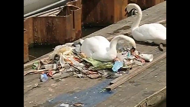 Swans Make A Nest Out Of the only resource available, which is garbage