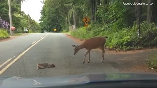 Terrified baby deer freezes on highway. Mom returns to instill some bravery