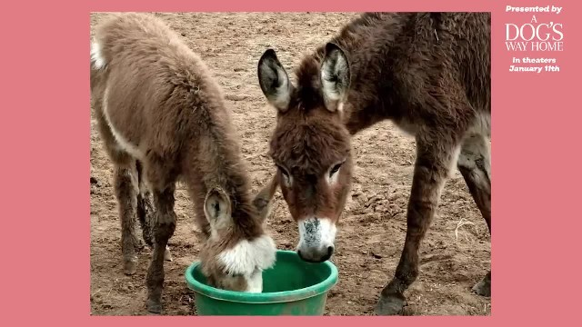 Depressed donkey misses his mama – watch the unbelievable reaction when they are reunited