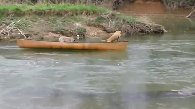 Two Frightened Dogs Are Trapped In A Canoe – Now, Watch Who Comes To Their Rescue